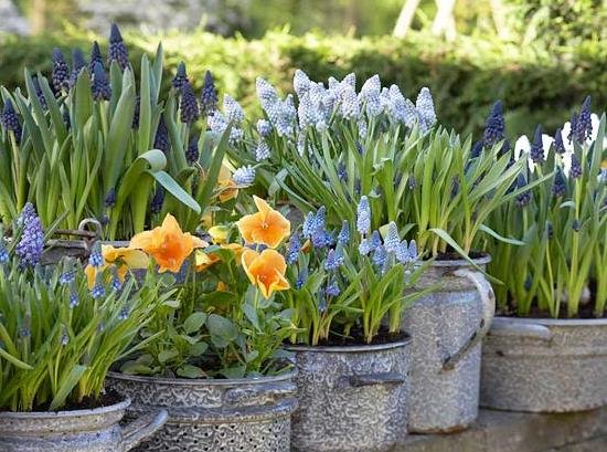 Лучшие многолетние луковичные цветы: обзор растений