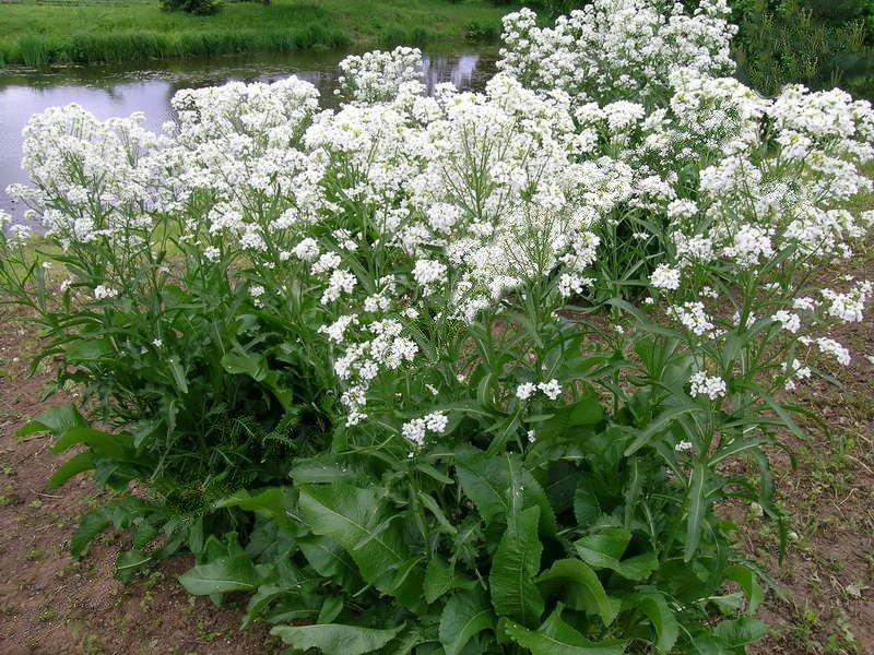 Выращивание хрена: секреты хорошего урожая