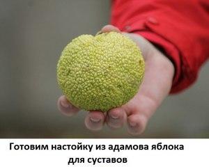 маклюра адамово яблоко настойка применение отзывы