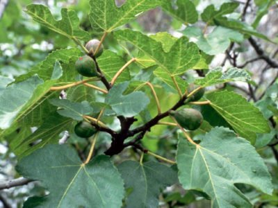 инжир выращивание в открытом грунте в украине