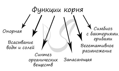 что называют корневой системой