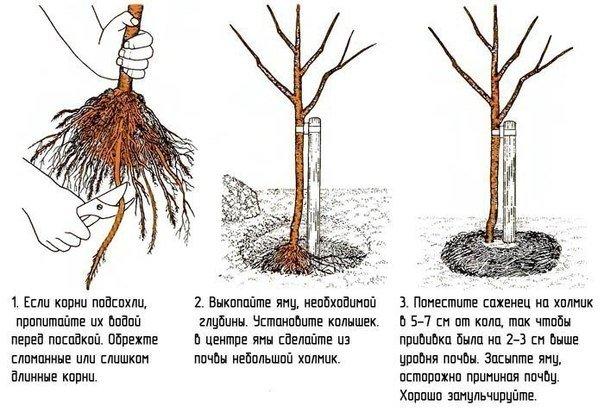 посадка саженца яблони осенью