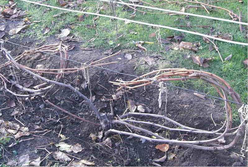 виноград подготовка к зиме