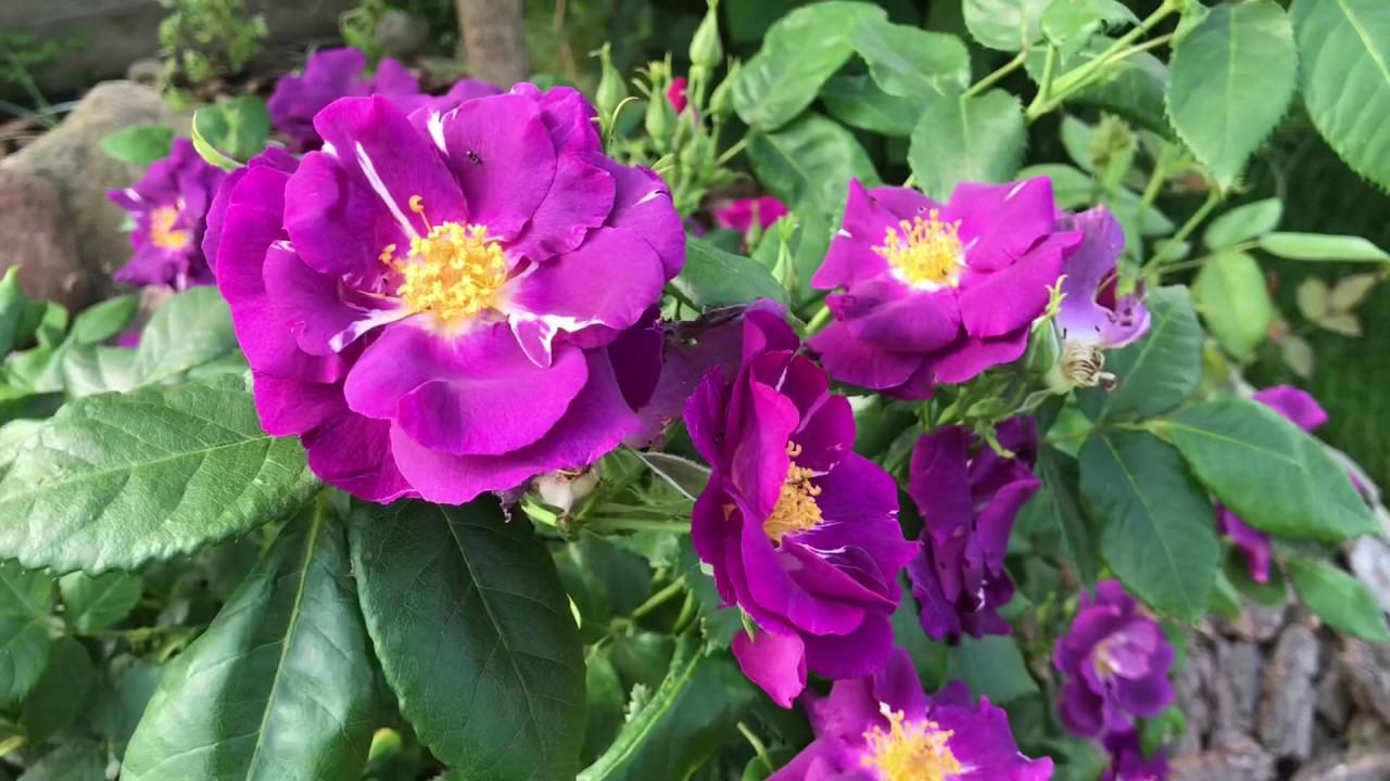 rhapsody in blue роза