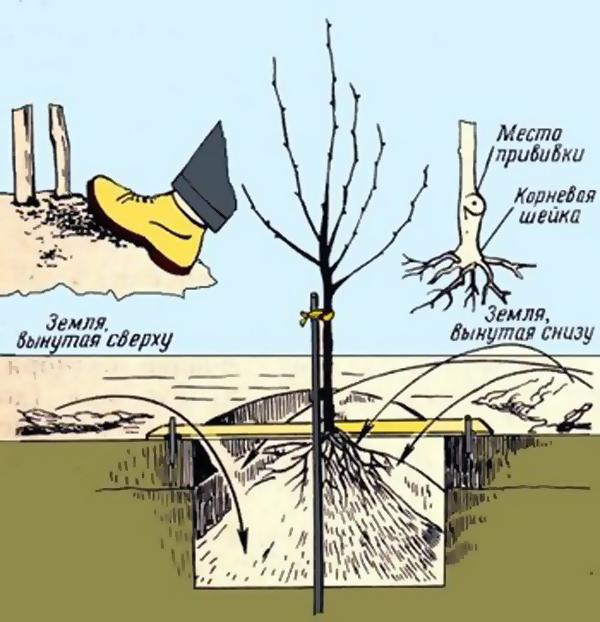 Схема посадки плодовых. совместимость деревьев и кустов