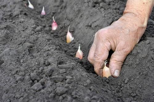 Посадка чеснока осенью: когда и как его посадить