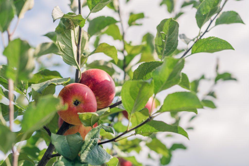 Лобо яблоня: описание сорта, фото