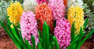 Луковичные растения для сада - уход и посадка этих цветов