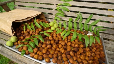 Маньчжурский орех: описание, лечебные свойства и противопоказания