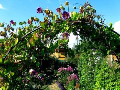 Кобея посадка и уход в открытом грунте, роль сорта в ландшафтном дизайне, выращивание и размножение