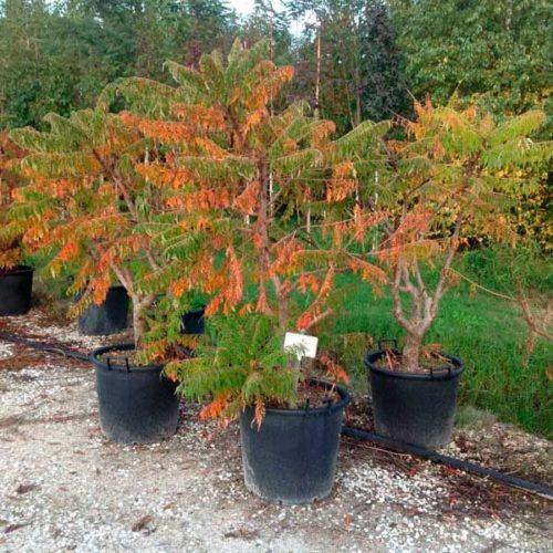 Выращивание сумаха. дерево сумах оленерогий, или уксусное дерево. декоративные культуры