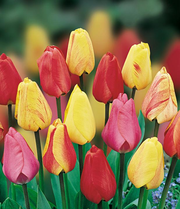 Как вырастить тюльпаны в саду
