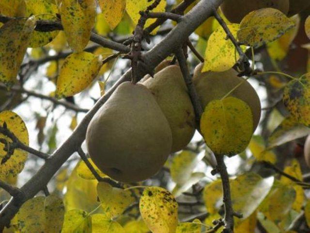 подкормка яблонь осенью в подмосковье