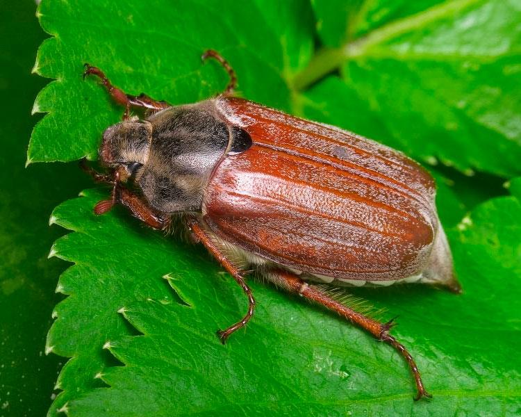 хрущ личинка майского жука