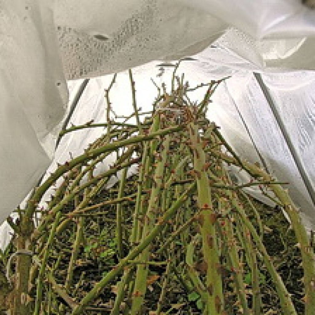Укрытие роз на зиму, подготовка к зимовке и обрезка осенью