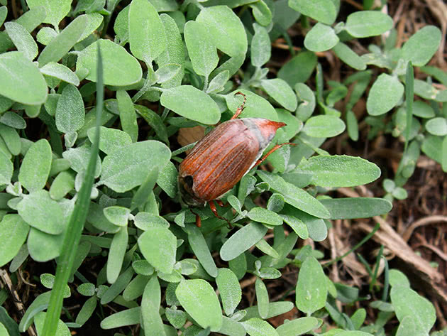 Личинка бронзовки и майского жука отличия. как отличить личинку бронзовки от хруща