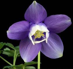 Цветок водосбор: посадка и уход