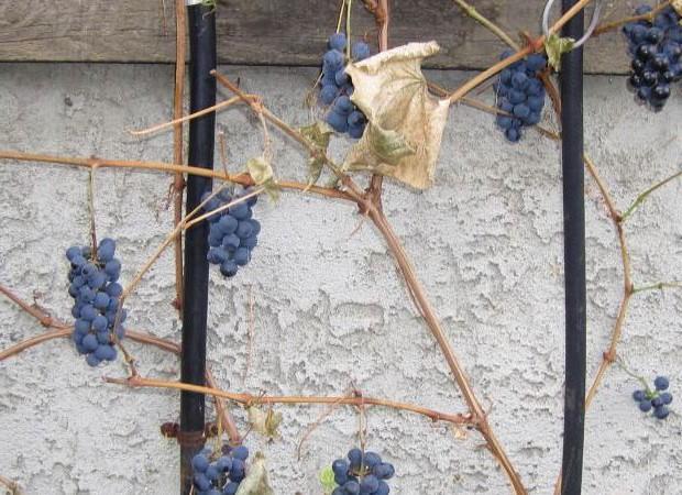 как укутать виноград на зиму