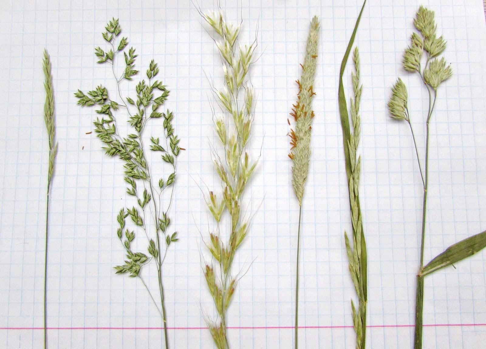 Зерновые злаковые культуры. состав, строение и виды. - укрепление здоровья