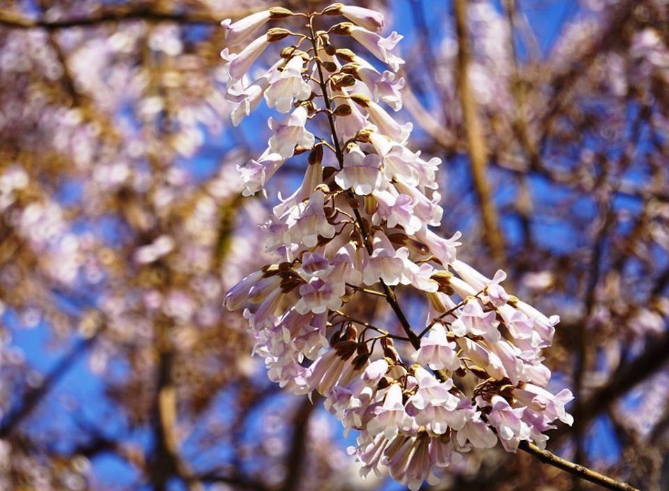 Войлочная павловния: описание и применение, зимостойкость, посадка адамова дерева дома из семян