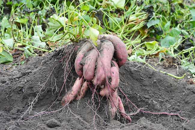 Батат - полезная альтернатива картофелю. как выбрать сорт и вырастить корнеплод  и как его употреблять в пищу?