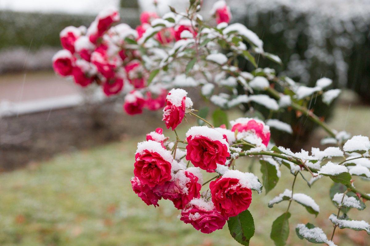 Уход за розами осенью, подготовка к зиме. укрытие роз на зиму
