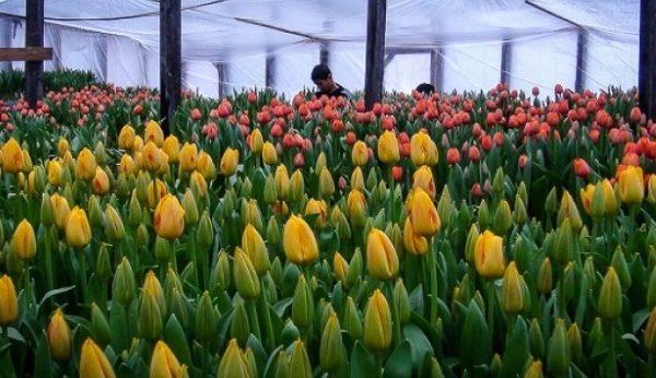 Когда выкапывать и сажать нарциссы и тюльпаны. как размножить нарциссы