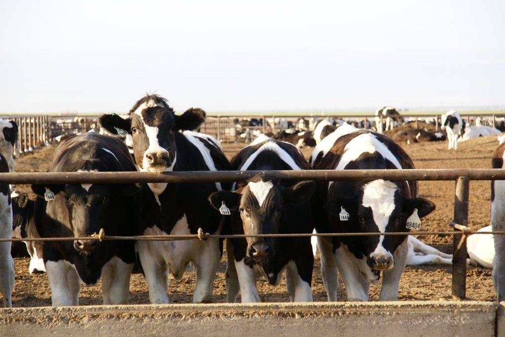 Советы по развитию бизнеса: откорм бычков на мясо