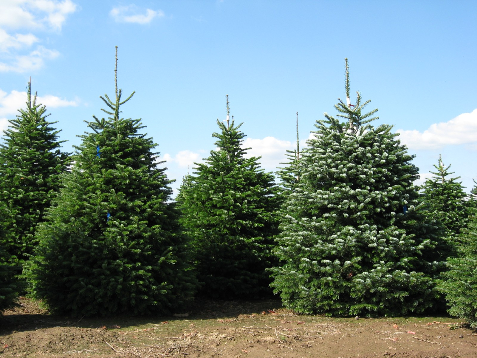 Ель и елка в чем разница, виды и фото деревьев, это одно и тоже