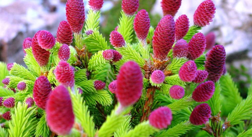 елка растение