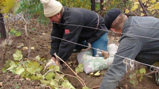 Подготовка винограда к зиме: когда нужно укрывать лозу, как это грамотно сделать