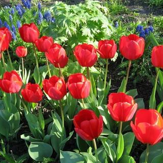 Когда выкапывать и сажать нарциссы и тюльпаны