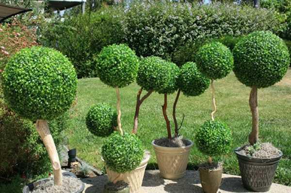Самшит – посадка и уход в открытом грунте. выращивание самшита, способы размножения. описание, виды и сорта. фото