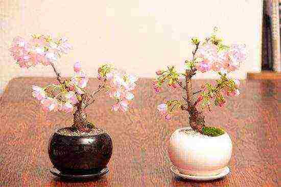 Сакура: особенности посадки,на участке выращивание и уход