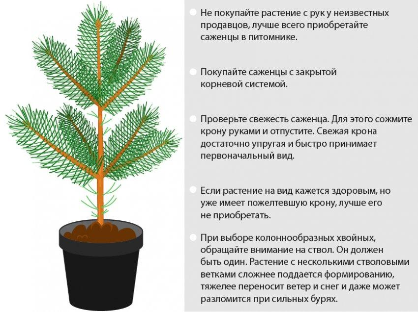 Как посадить кедр?