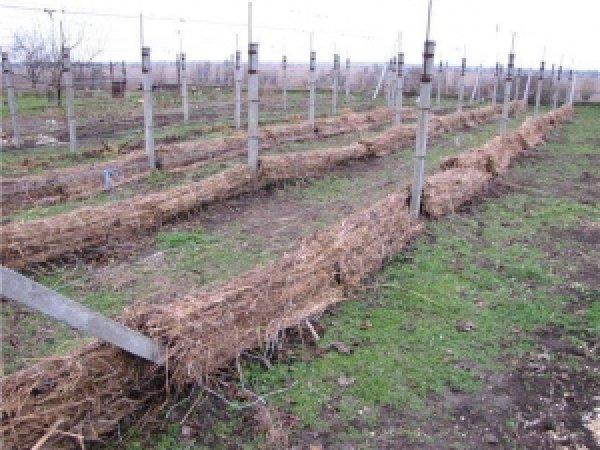 укрываем виноград на зиму просто и надежно