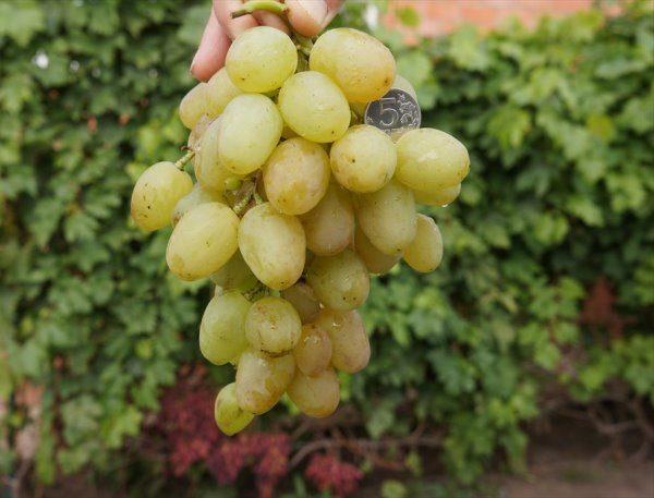 Виноград красохиной официальный сайт