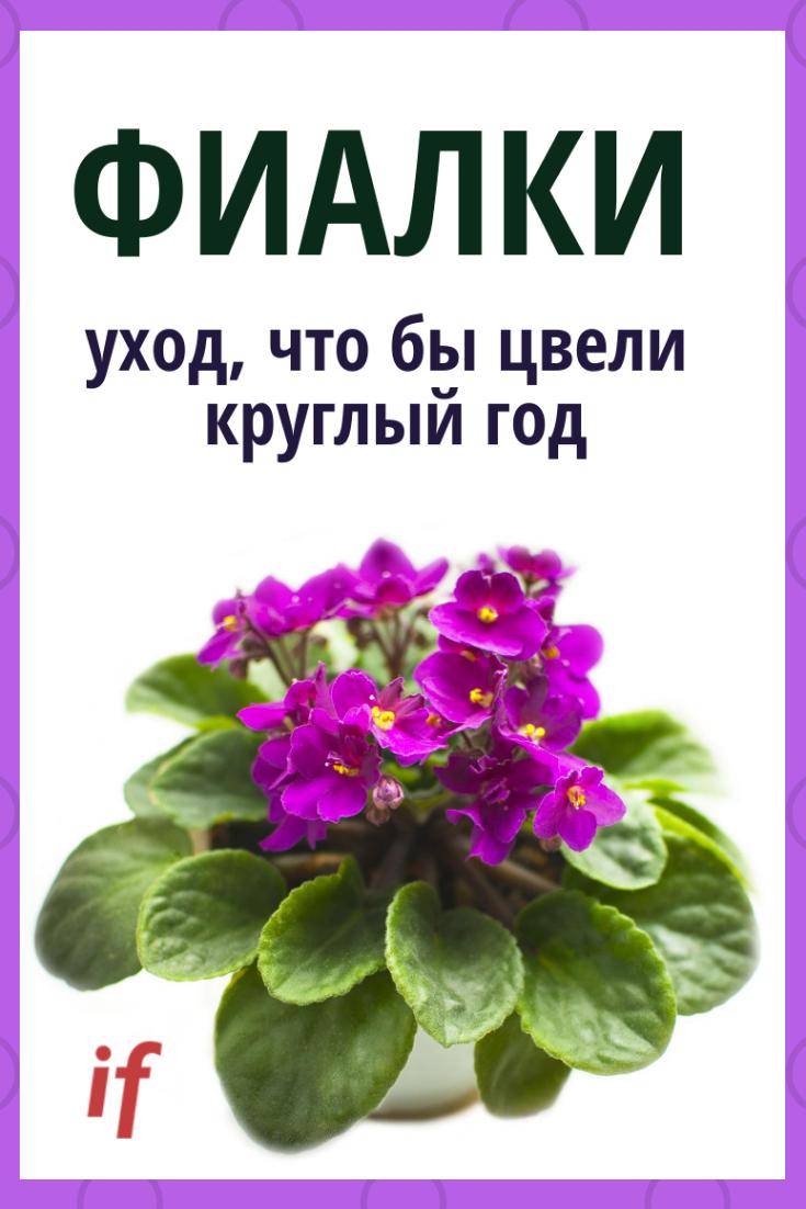 Как выращивать и размножать сенполии, или узамбарские комнатные фиалки на supersadovnik.ru