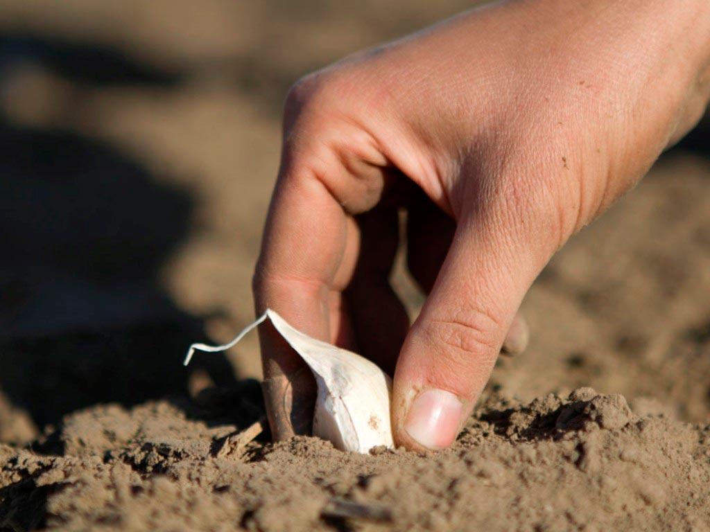 замочить чеснок перед посадкой в марганцовке