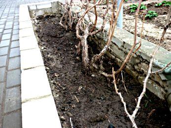 когда укрывать виноград на зиму в поволжье