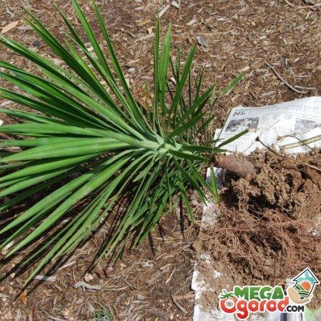 Юкка: описание растения, целебные свойства, выращивание и уход