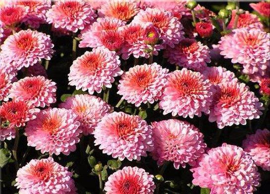 Крупноцветковые хризантемы (44 фото): выращивание из семян, садовые сорта хризантемы индийской и других видов, применение гиббереллина