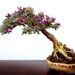 Бонсай (мини дерево):  посадка и уход, выращивание, размножение, пересадка, обрезка, виды, сорта, фото растения