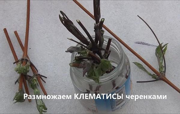 Размножение клематисов черенками осенью в домашних условиях. как размножается клематис черенками летом