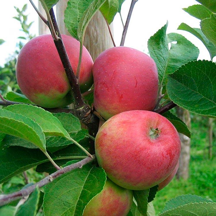 сорта яблок с фото и описанием