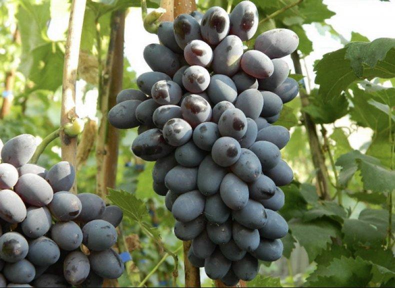 Красохина виноград каталог саженцев 2020г