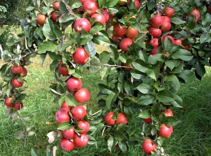 Осеннее удобрение яблонь, получайте шикарный урожай