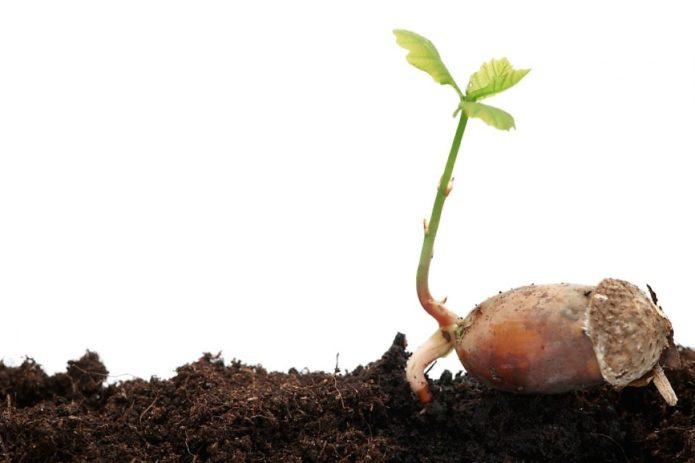посадка желудей дуба осенью в открытый грунт