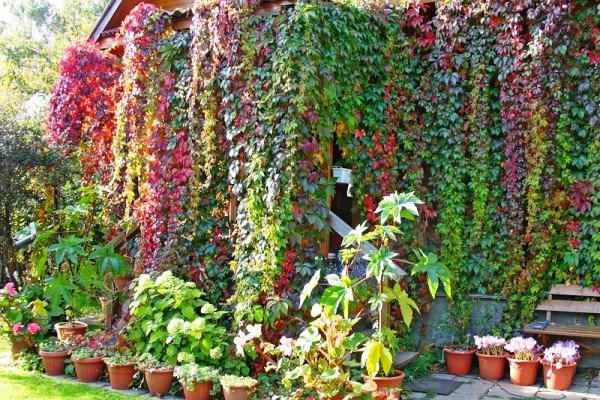 Лианы для сада: многолетние и однолетние вьющиеся растения | дом мечты