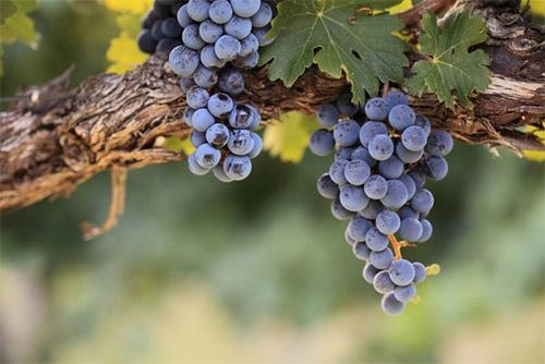 через сколько дней отжимать мезгу виноградную